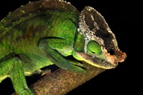 Male Parson's Chameleon Photo by Alexis Rosenfeld