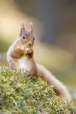 Red Squirrel Feeding Fotografisk tryk af Duncan Shaw