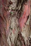 Yew Tree Bark Photographic Print by Alan Sirulnikoff