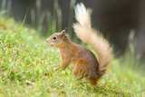 Red Squirrel Feeding Prints by Duncan Shaw