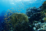 Coral Reef In the Red Sea Photographic Print by Alexis Rosenfeld