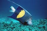 Yellowbar Angelfish Prints by Peter Scoones