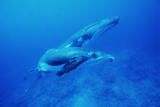 Humpback Whale Mother And Calf Posters by Alexis Rosenfeld