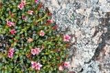 Trailing Azalea (Loiseleuria Procumbens) Posters by Duncan Shaw