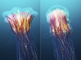 Lion's Mane Jellyfish, Japan Prints by Alexander Semenov