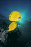 Masked Butterfly Fish Prints by Peter Scoones