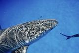 Caribbean Reef Shark Prints by Alexis Rosenfeld