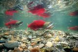 Spawning Sockeye Salmon Papier Photo par Peter Scoones