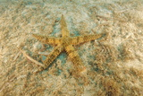 Spiny Starfish Print by Alexis Rosenfeld