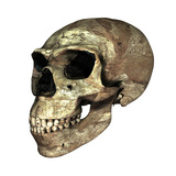 Neanderthal Skull Photographic Print by Friedrich Saurer