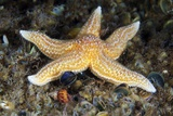 Common Starfish Prints by Alexander Semenov