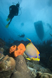 Angelfish And Divers Print by Peter Scoones