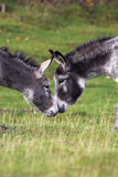Donkeys Touching Noses Photographic Print by Duncan Shaw