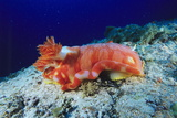 Spanish Dancer Sea Slug Photographic Print by Alexis Rosenfeld