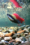 Spawning Sockeye Salmon Photographic Print by Peter Scoones
