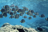 White-spotted Surgeonfish Shoal Photographic Print by Alexis Rosenfeld