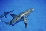 Caribbean Reef Sharks Photo by Alexis Rosenfeld