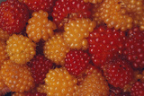 Salmonberries Photographic Print by Alan Sirulnikoff