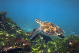 Green Sea Turtle Photographic Print by Peter Scoones