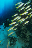 Yellowfin Goatfish with a Diver Posters by Alexis Rosenfeld