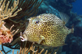 Honeycomb Cowfish Posters by Peter Scoones