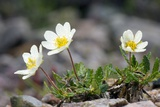 Mountain Avens (Dryas Octopetala) Photo by Duncan Shaw