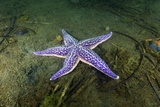 Starfish, Asterina Pectinifera Photographic Print by Alexander Semenov