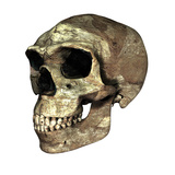 Homo Erectus Skull Photographic Print by Friedrich Saurer