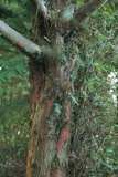 Yew Tree Trunk Photographic Print by Alan Sirulnikoff