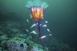 Lion's Mane Jellyfish And Navaga Fish Photographic Print by Alexander Semenov