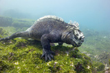 Marine Iguana Prints by Peter Scoones