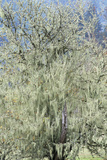 Spanish Moss (Tillandsia Usneoides) Photographic Print by Alan Sirulnikoff