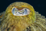 Common Cuttlefish's Eye Photographic Print by Alexis Rosenfeld