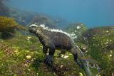 Marine Iguana Photographic Print by Peter Scoones
