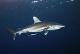 Oceanic Whitetip Shark Print by Alexander Semenov
