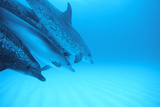 Spotted Dolphins Photographic Print by Alexis Rosenfeld