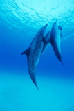 Atlantic Spotted Dolphins Prints by Alexis Rosenfeld