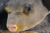 Kuglefisk Fotografisk tryk af Alexis Rosenfeld