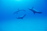 Atlantic Spotted Dolphins Photo by Alexis Rosenfeld