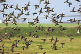 Flock of Common Teal Photographic Print by Duncan Shaw
