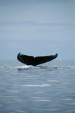 Humpback Whale Tail Photographic Print by Alexis Rosenfeld