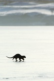 European Otter on Sea Ice Photographic Print by Duncan Shaw