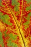 Leaf Detail Photographic Print by Alan Sirulnikoff