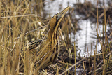 Great Bittern In Reed Bed Photographic Print by Duncan Shaw