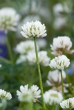 White Clover (Trifolium Repens) In Flower Photographic Print by Duncan Shaw