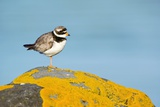 Ringed Plover on a Lichen-covered Rock Photographic Print by Duncan Shaw