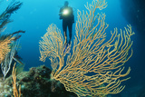 Sea Fan Photographic Print by Alexis Rosenfeld