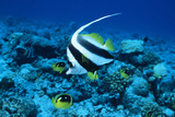 Bannerfish Photo by Alexis Rosenfeld