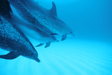 Spotted Dolphins Photo by Alexis Rosenfeld