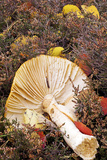 Fly Agaric (Amanita Muscaria) Photographic Print by Duncan Shaw